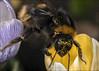Bumble Bee & Parasites on Crocus (Darwinsgift) Tags: bumble bee insect parasites mites crocus flower macro micro nikkor 200mm f4 nikon d850