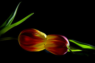 Tulips kissing in the dark