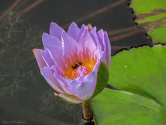 Water Lily_6749 (smack53) Tags: smack53 atlanta atlantabotanicalgardens botanicalgardens georgia flowers lily lilies blossoms leaves autumn autumnseason fall fallseason canon powershot sx150is canonpowershotsx150is