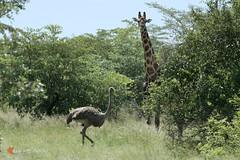 DSC_0127 (lucadebiasio) Tags: giraffa e struzzo