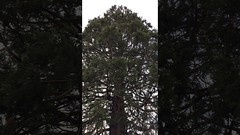 Giant redwood (Sequoiadendron giganteum) - crown - March 2018 (terrencepickles) Tags: giant redwood sequoiadendron giganteum crown march 2018