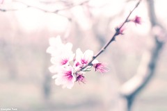If you truly (gusdiaz) Tags: blossoms orchard peach tree trees canon canonphotography nature naturephotography spring primavera durazno arboles atardecer sunset pastels pasteles colors colores flores flowers beautiful hermoso primaveral niftyfifty nifty fifty 50mm bokeh bokehlicious