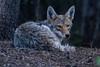 014 coyote (starc283) Tags: starc283 wildlife winter canon canon7d flickr flicker nature naturesfinest nebraska naturewatcher coyote canine outdoors outdoor predator scavanger scavangers