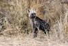Hyena Puppy (mayekarulhas) Tags: hyena baby puppy krugernationalpark wildlife wild canon animal carnivores