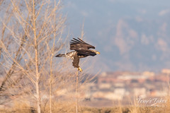 Bald Eagle fishing attempt 1 - 9 of 16