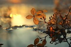 heart (joy.jordan) Tags: hydrangea texture leaf puddle reflection light sunset bokeh nature