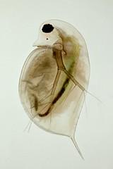 Daphnia (mr.sansibar) Tags: pondlife planapo crustacea olympusbh2 focusstacking photomicrography microscopy heliconfocus polarizedlight waterflea cladocera daphnia