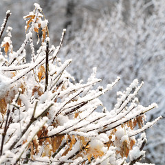 Snowy branches (Tim Ravenscroft) Tags: snow maple branches hasselblad x1d