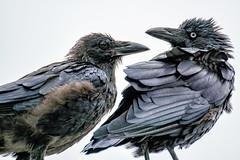 _DSC5395.jpg (David Hamments) Tags: bird flinderschasenationalpark currawong kangarooisland australia wet flickrunitedaward