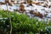 Moss and melting snow. (Azariel01) Tags: 2018 belgique belgie belgium hal halle hallerbos winter hiver arbres trees woods bois route road fondate neige melting snow mousse moss droplets drops gouttes gouttelettes sun soleil