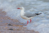 Red-billed Gull (Eric Gofreed) Tags: chroicocephalusnovaehollandiaescopulinus gull newzealand redbilledgull silvergull akiaki tarapunga