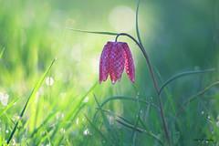 fritillaire (jpto_55) Tags: fritillairepintade fleur proxi bokeh xe1 fuji fujifilm omlens om135mmf28 hautegaronne france ngc