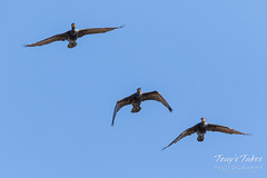 Double-crested Cormorants in flight
