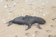 Seal pup washed ashore (Rckr88) Tags: plettenbergbay southafrica plettenberg bay south africa seal pup washed ashore sealpupwashedashore seals dead death marine marinelife animals animal beach beachsand sand nature outdoors travel travelling deadbody deadbodies westerncape