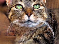 Kitty Has A Fu Manchu (LupaImages) Tags: cat feline face whiskers fumanchu mustache fur indoors eyes green animal pet