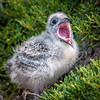 Swallow-Tailed Gull (Matt Tiegs) Tags: birds gullsterns phototype seasons shoreandseabirds spring swallowtailedgull vacation southplaza galapagos ecuador