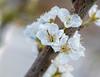 Prunus salicina Santa Rosa plum (Puddin Tain) Tags: prunussalicina santarosaplum virginiabeach plumtree plumblossoms