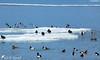 Concentration de volatiles ! (jean-daniel david) Tags: nature oiseau oiseaudeau lac lacdeneuchâtel glace gel banquise bleu blanc canard foulque fuligule fuligulemorillon fuligulemilouin netterousse canardchipeau réservenaturelle yverdonlesbains suisse suisseromande