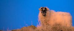 Breakfast is ready, are you coming? (evakongshavn) Tags: smileonsaturday happysmileonsaturday hsos sos beauty beast beautyofthebeast sheep sau sheeps sky blue grass 7dwf
