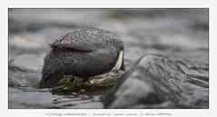 DSC_0621 (Spirou74) Tags: cincle plongeur cinclus