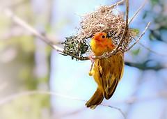 Weaver (1seeu) Tags: weaving home bird