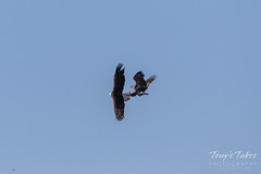 Bald Eagle theft attempt 2 - 2 of 7