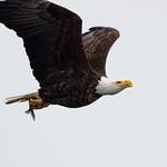 Eagle, Fish thumbnail