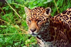 Close up (dan487175) Tags: leopard closeup spots bigcat outdoors cat