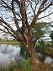 Albizia saman (Jacq.) F. Muell. Fabaceae Mimosoideae-rain tree, ก้ามปู (SierraSunrise) Tags: bole esarn fabaceae isaan mimosoideae nongkhai phonphisai plants thailand trees trunk