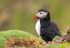 Tammie Norrie (Calum Linnen) Tags: atlantic puffin seabird d7100 wildlife shetland scotland sumburgh nikon nature