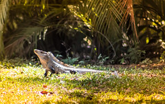 Tomando el sol (Sergio_Pérez) Tags: iguana yumká villahermosa ef75300mm eosrebelt6 canoneosrebelt6 1300d