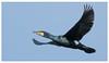 Cormorant 2-3 (Happy snappy nature) Tags: cormorant birdinflight beautiful bluesky nature wildlife outdoors sunnyday shropshire
