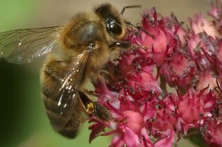 Apis mellifera, l'abeille à miel ou abeille noire.