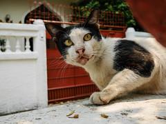 Thailand - Bangkok - Thonburi (st3000) Tags: asia seasia thailand southeastasia bangkok thonburi gm5 lumix 20mm travel siam cat pet cute