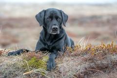 Buddy (Flemming Andersen) Tags: black buddy outdoor dog labrador nature bedstedthy northdenmarkregion denmark dk
