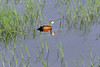 DSC_8992 (H Sinica) Tags: 博茨瓦納 botswana chobe chobenationalpark safari africanpygmygoose nettapusauritus 厚嘴棉凫