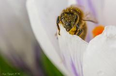 Crocus and the Bee. ( Explored.) (nondesigner59) Tags: crocus spring bee nature macro flora fauna closeup copyrightmmee eos7dmkii nondesigner nd59