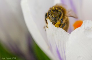 Crocus and the Bee. ( Explored.)