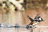 Take-Off! (brendon_curtis) Tags: canon 7dmkii eos usm 500mm f4l is 2xiii hooded merganser bird birds avian take off water pond spring