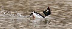Casanova (Slow Turning) Tags: bucephalaclangula commongoldeneye male duck bird courtshipdisplay swimming water lake headback winter southernontario canada behaviour