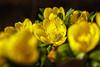 Spring is here to stay (I hope) (Martin von Ottersen) Tags: sel90m28g winterlinge winter aconite eranthishyemalis spring frühling yellow gelb