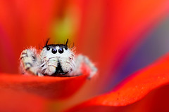 Red Petal Balcony (Explored) (dianne_stankiewicz) Tags: color balcony red petal flower spider jumper jumpingspider nature wildlife colorful bright coth5
