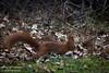 Eekhoorn [3] (Werner Wattenbergh) Tags: fauna eekhoorn mammals squirrel zoogdieren