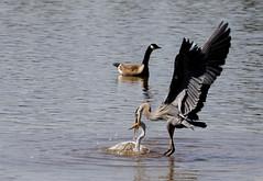 Birds acting badly (John's Love of Nature) Tags: johnkelley greatblueheron ardeaherodias greategret ardeaalba