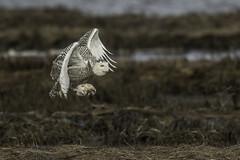 Snowy Owl (Joseph M. Campbell) Tags: edwinbforsythenwr nature newjersey newjerseywildlife owls raptors snowyowl wildlife
