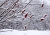 sumacs in winter (marianna_a.) Tags: p1940903 sumac tree red fuzzy berries white snow falling winter mariannaarmata
