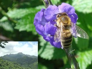 Micro- and Macroviews. Eastern Mountains and Honeybee, Apis mellifera, on Stachytarpheta cayennensis, Blue Rat's-tail, Raemura Mountain, Rarotonga, Cook Islands