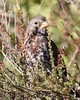 Sooty Fox Sparrow (Passerella iliaca [unalaschcensis Group]) 10-27-2018 Blue Ridge Rd.--Mt. Vaca area, Solano Co. CA 1 (Birder20714) Tags: birds california sparrows emberizidae passerella iliaca