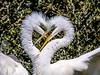 I only have eyes for you! Explored (backyardzoo) Tags: breeding nesting explore bald eagle