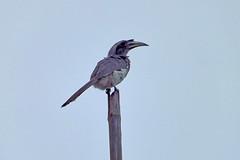 Indian Grey Hornbill (Birdwatcher18) Tags: hornbill birds nature greybird sitting birding tree waterbird